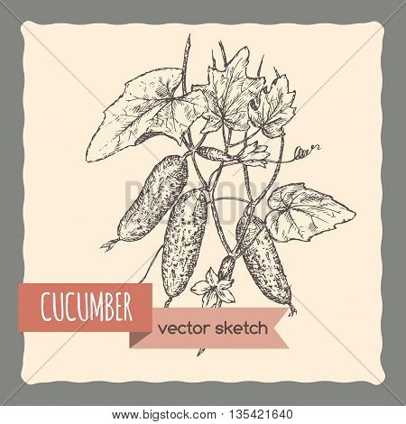 Fresh cucumbers on a branch hand drawn vector sketch. Great for cooking, gardening, farming or agricultural design.