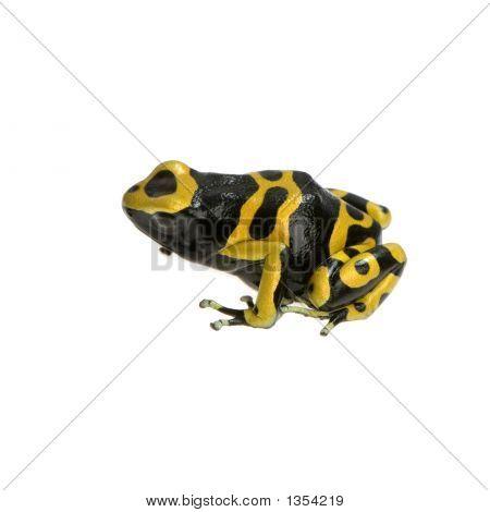 Poison Dart Frog - Dendrobates Leucomelas