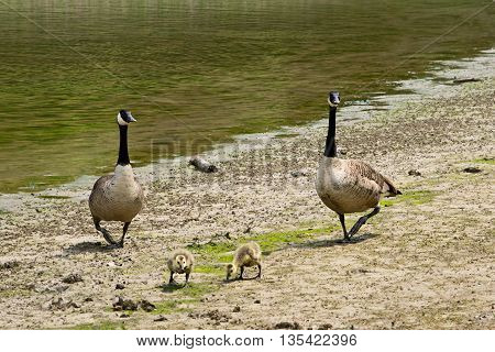 Canadian geese with goslings by the lake