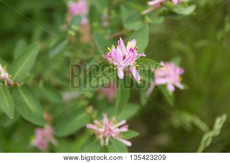 Lonicera tatarica pink flowers background, nobody. English name Tatarian honeysuckle. Beautiful pink flowers background