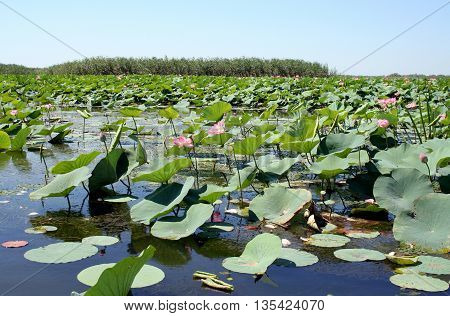 Fields of lotuses in the Volga River flood plain in the Astrakhan region in Russia