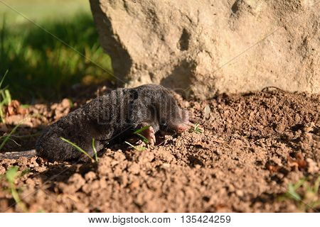 Mole in the garden of stone. Mole - Talpa europaea. Mole on dirt.