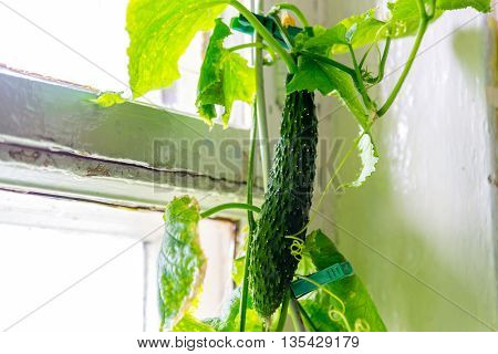 Growing cucumbers at home on a window sill