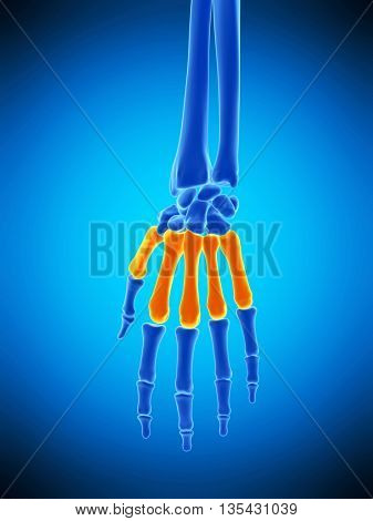 3d rendered, medically accurate illustration of the metacarpals bones