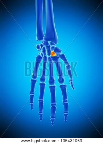 3d rendered, medically accurate illustration of the trapezoid bone