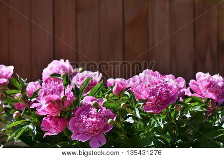 Peony background. Fuchsia pink peonies on wooden background with place for text. Spring flowers peonies.