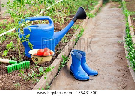 The blue plastic watering can, rubber boots and rake on the background of a greenhouse with tomatoes. Bright equipment for garden care. Vintage red ripe tomatoes.