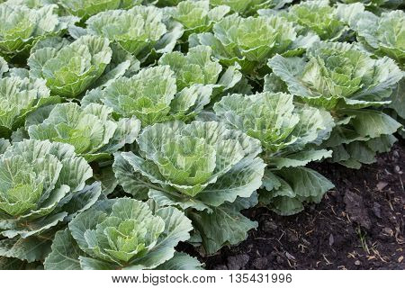 Ornamental cabbage in a garden at farm