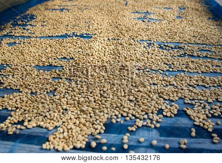 row coffee beans drying in the sun