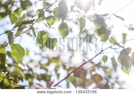 forest trees leaves. leaves of birch. the sun casting its rays of light through the leaves