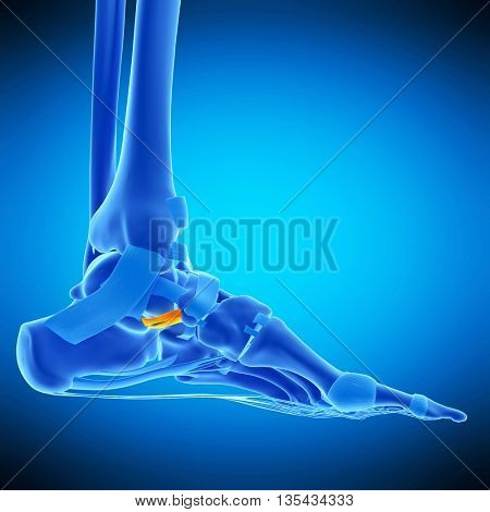 3d rendered, medically accurate illustration of calcaneonavicular ligament
