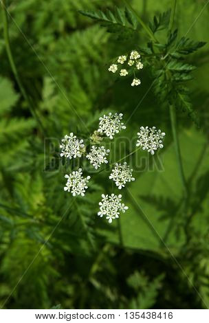 Poison hemlock (Conium maculatum) is a highly poisonous flowering plant in the carrot family Apiaceae native to Europe and North Africa