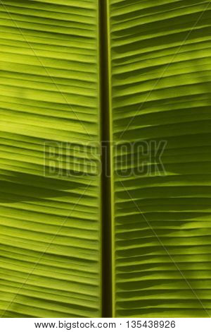 image of Banana leaves background texture .