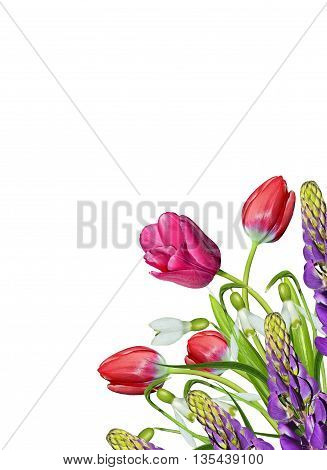 spring flowers tulips isolated on white background. snowdrop