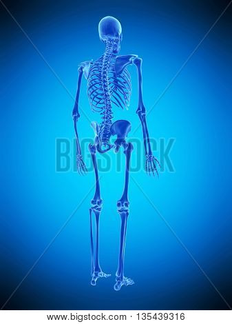 3d rendered, medically accurate illustration of the human skeleton