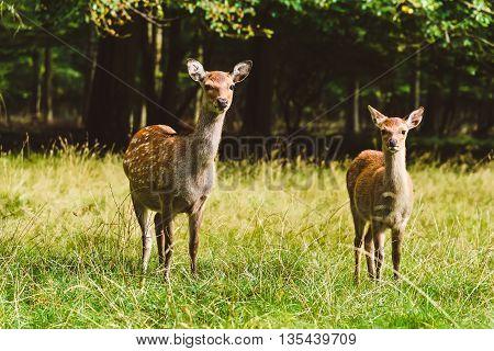 Wild deers pair in Jaegersborg Dyraehaven - forest park in Klampenborg Copenhagen. Nature reservation in Denmark.
