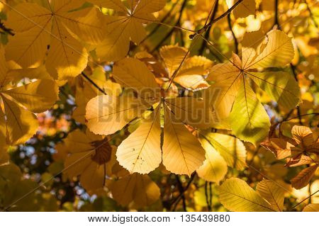 closeup of colorful horse chestnut leaves in autumn