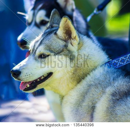 Huskies. Huskies dog breeds.Portrait of a pet dog. A favorite of friend dog.