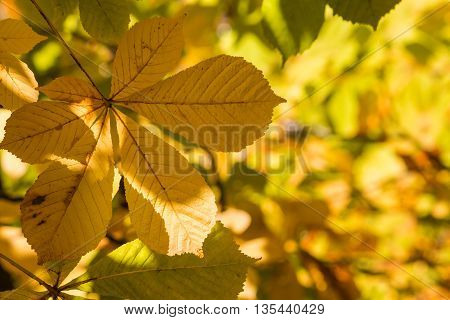 yellow horse chestnut leaves in autumn background