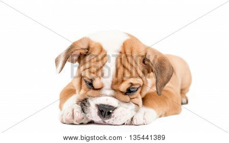 Sleepy Puppy Of English Bulldog