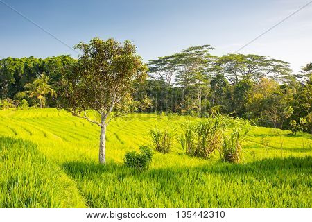 Crops of rice fields on a hot sunny afternoon near Ubud, Bali, Indonesia