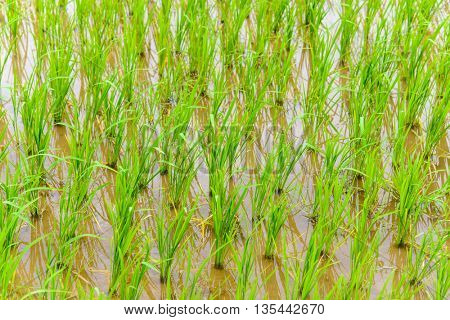 Young rice growing in paddy fields