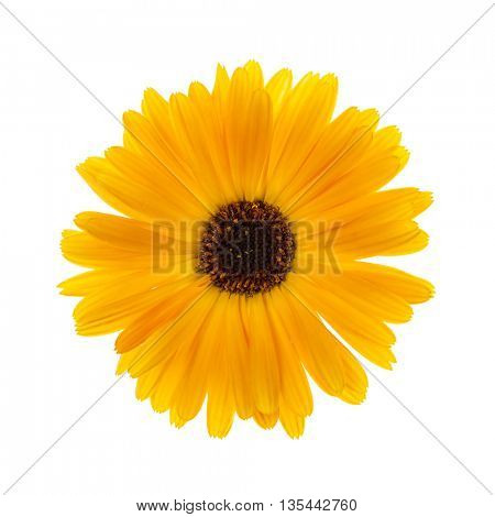 One fresh calendula flower isolated on white background view from above