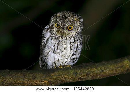 Oriental Scops Owl Otus sunia Birds of Thailand