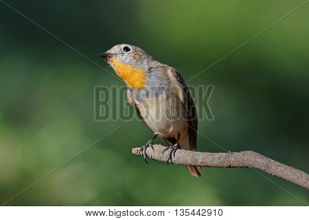 Taiga Flycatcher Ficedula parva Male Birds of Thailand