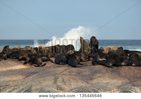 Island fur seals off the coast of South Africa, Africa