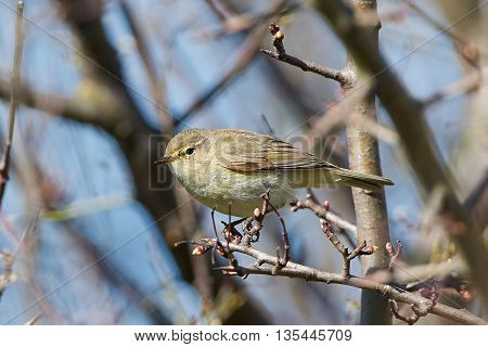 Common chiffchaff sitting on a branch in its habitat