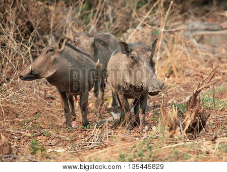 family of African warthogs standing in the grass, guarding your group, Botswana, Chobe