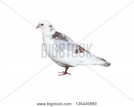 Adult dove isolated on a white background. The feathers of a dove of a different color: white gray and brown.