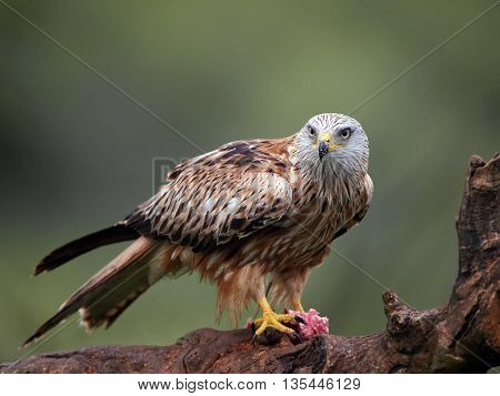 Red kite (Milvus milvus) sitting on a branch with raw meat in its claws