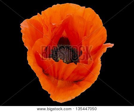 A large Red Poppy on a black background