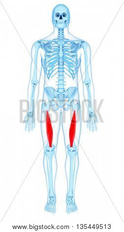 3d rendered, medically accurate illustration of the vastus  intermedius