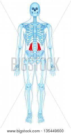 3d rendered, medically accurate illustration of the quadratus lumborum