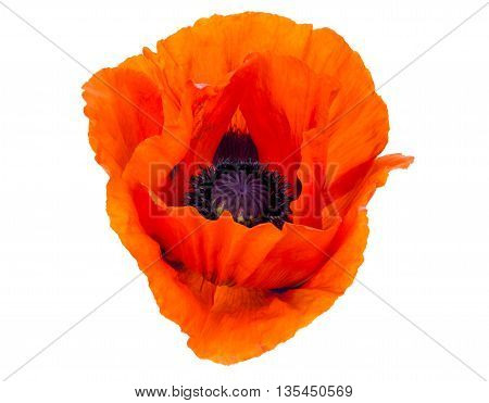 A single red Poppy isolated on a white background