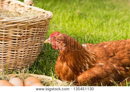 chicken and eggs in the basket on the lawn