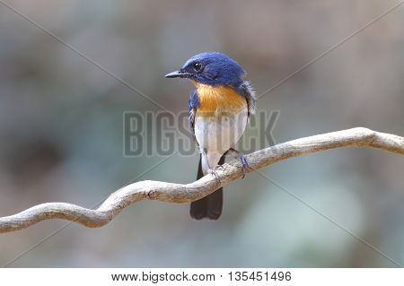 Tickell's Blue Flycatcher Cyornis tickelliae Male Birds of Thailand