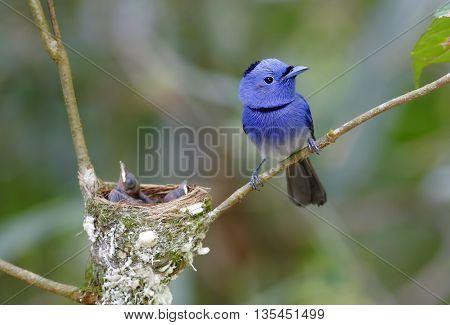 Black-naped Monarch Hypothymis azurea Male Babys in Nest