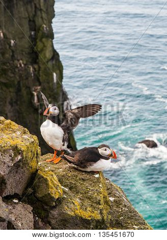 Pair Of Atlantic Puffins