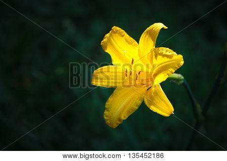 Beautiful yellow lily on a dark green background in a sunlight