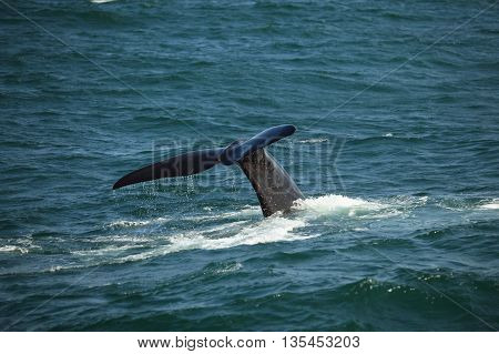 tail above the water diving southern right whale South Africa Africa