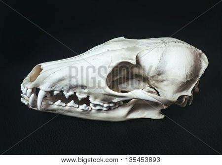 Profile bleached skull of an animal fox lies on black textured leather surface. Close-up
