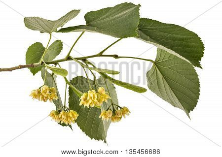 Branch with blooming linden flowers with leaf, Tilia Platyphyllos, isolated on white background