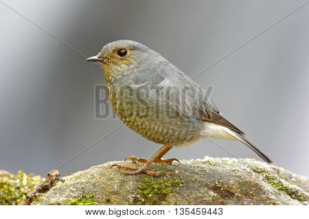 Plumbeous Water Redstart Rhyacornis fuliginosa Female Birds of Thailand