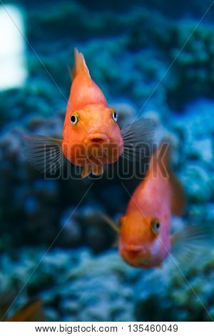 two aquarium fish red parrot on a blue background