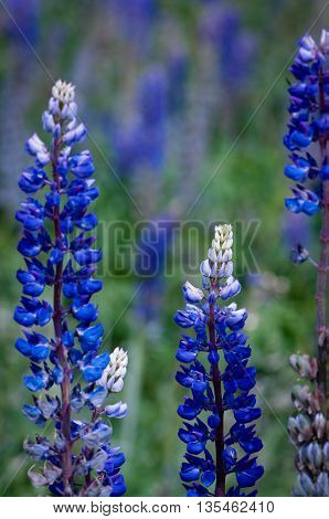 lupine flowers in the village with blue base and white tip