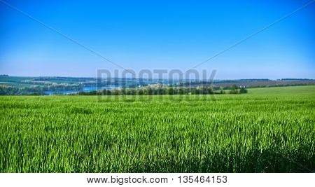 field of green wheat under bright blue sky and river far as background